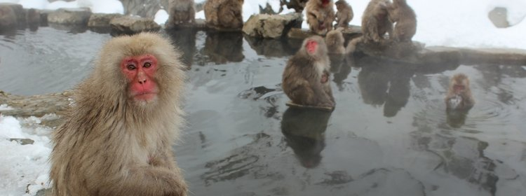 visit the Snow monkeys in Jigokudani park japan